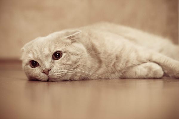 Гормональный сбой у кошки, эндометриоз матки у кошек