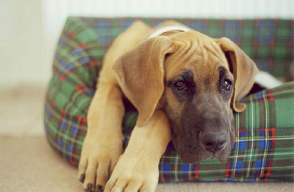 Что делать если у собаки рвота желчью