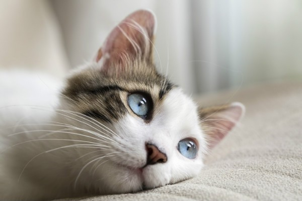 Анкилостома у кошек фото