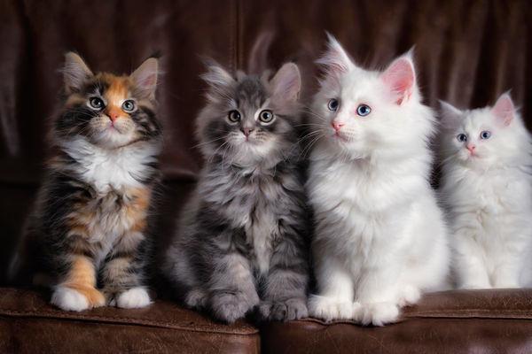 Пушистые породы кошек: весь список официально признанных питомцев ( фото)