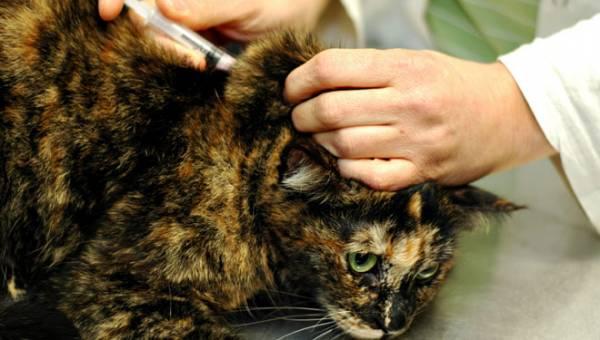 Симптомы, лечение и профилактика энтерита у кошек