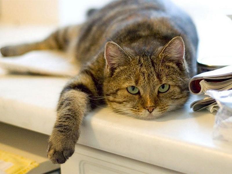 Хроническая болезнь почек у кошек. Хпн у кошек Почечная недостаточность у кота сколько проживет