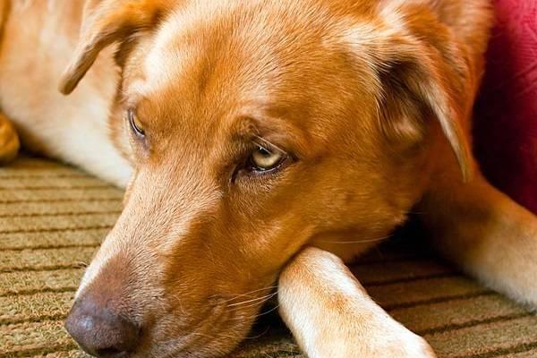 Аскаридоз у собак симптомы
