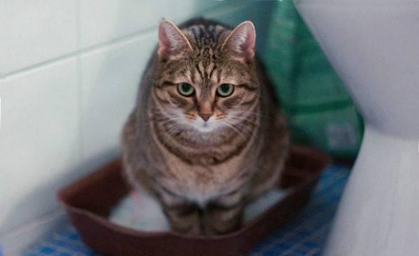 Заболевания желудка у кошек - Болен Кот