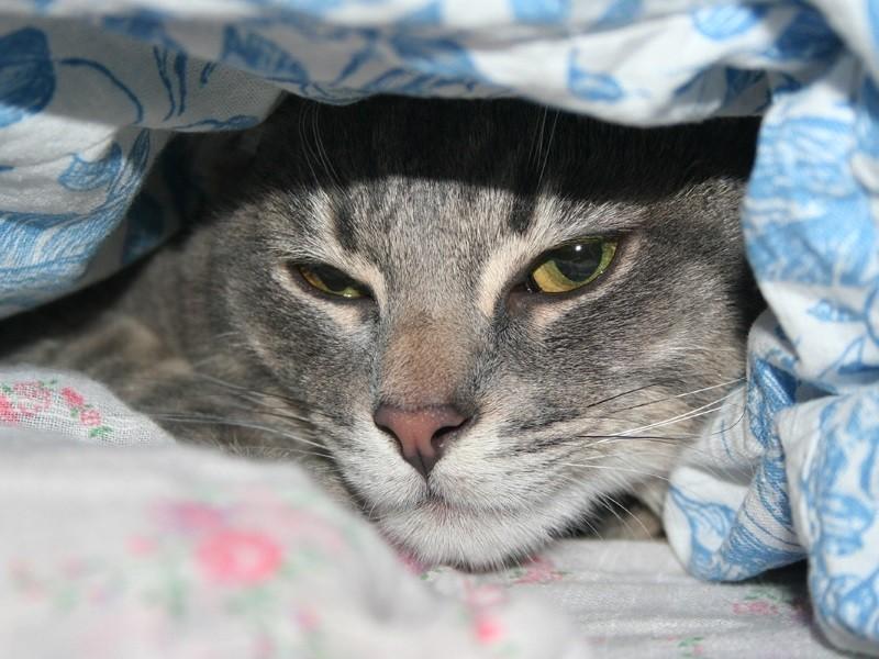 Кровь в Моче Гематурия у кошки