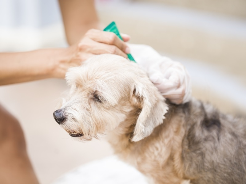 Что такое пироплазмоз (бабезиоз) собак? Статья главврача ВЕТТАЙМ АЕ Назарова