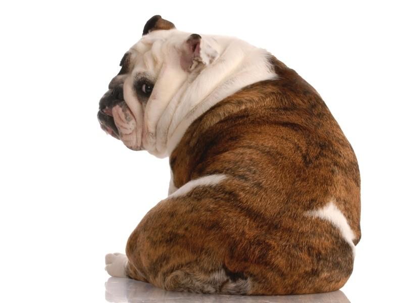Болезни поясничного отдела у собак