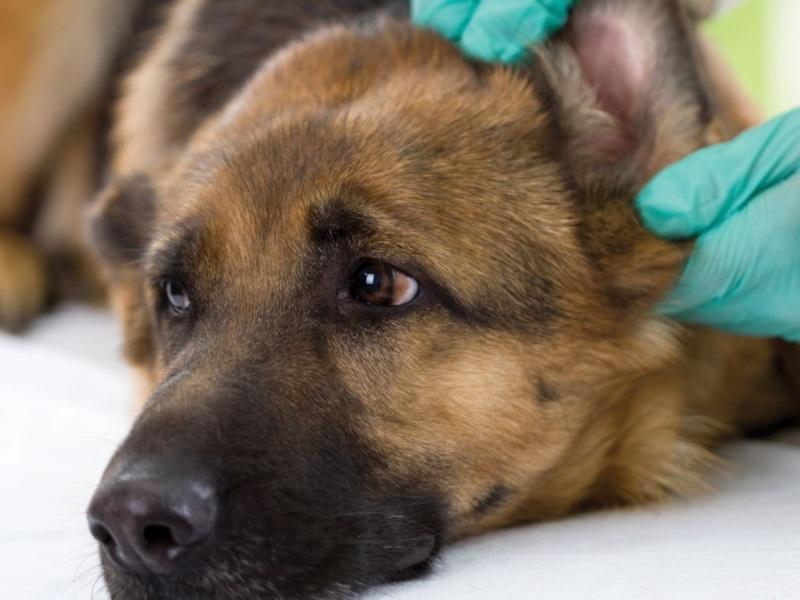 Уреаплазмоз у собак симптомы и лечение