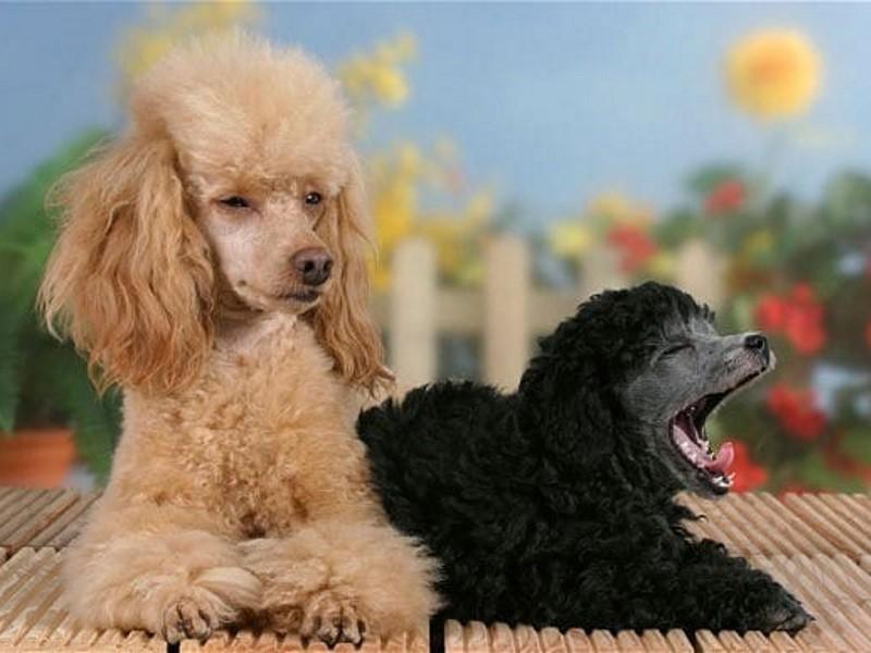 Карликовый пудель собака. Описание, особенности, характер, уход и цена породы