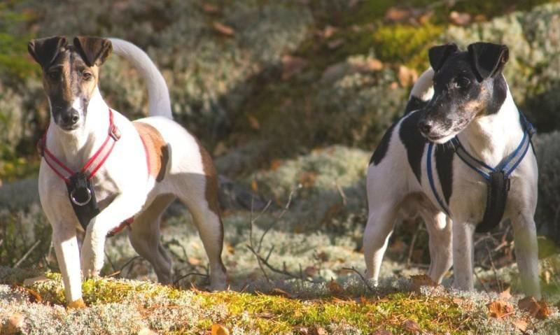 Уход за Фокстерьерами - Породы собак