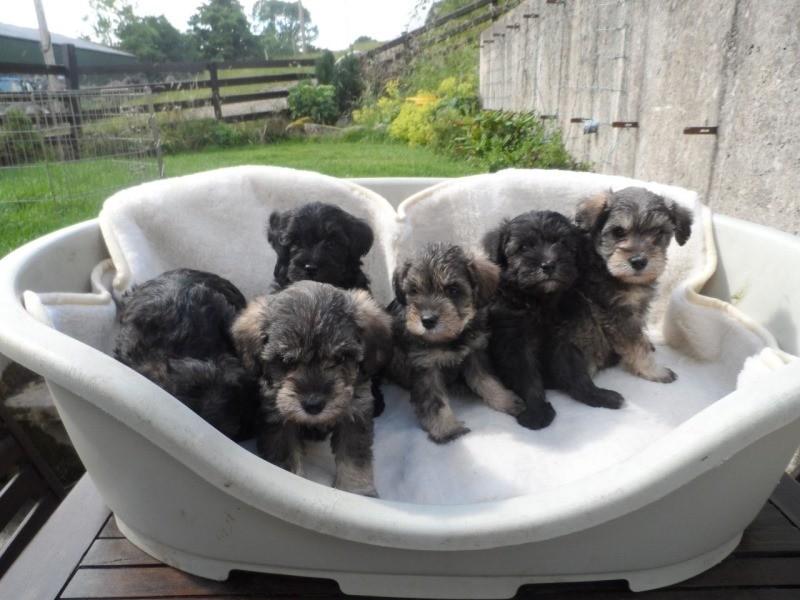 Порода собак цвергшнауцер фото