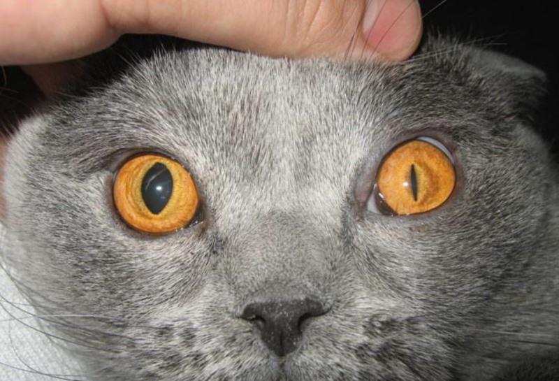 Как проявляется и лечится энцефалит у кошек