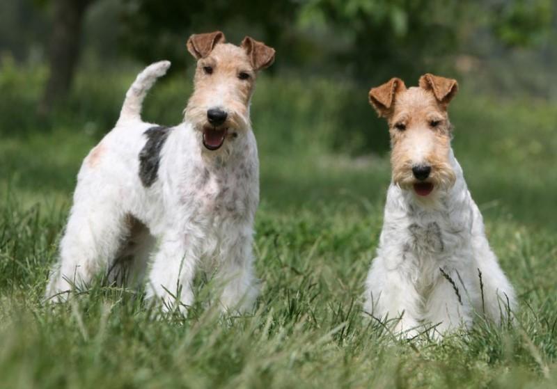 Жесткошёрстный фокстерьер - описание породы и характер собаки