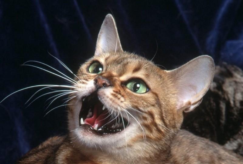 Почему кот хрипит при дыхании опасно ли такое состояние