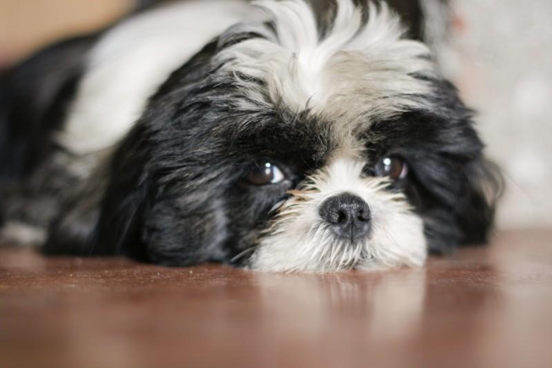 Псориаз у собак фото