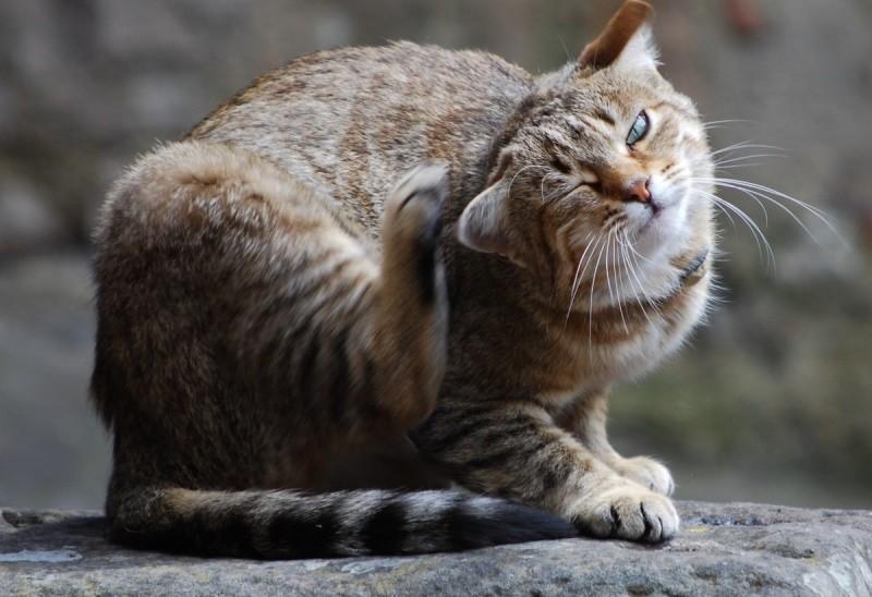 Грибок у кошек: симптомы и лечение