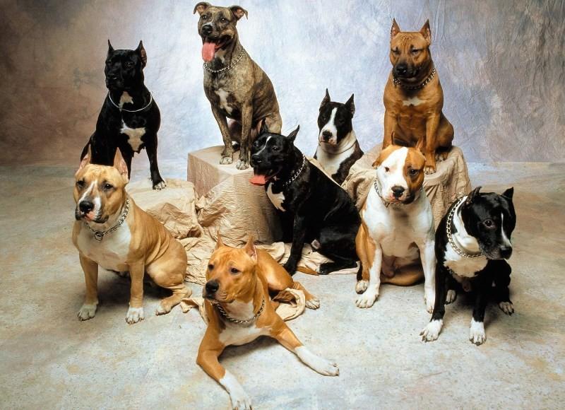 Бойцовские породы собак – рейтинг лучших пород