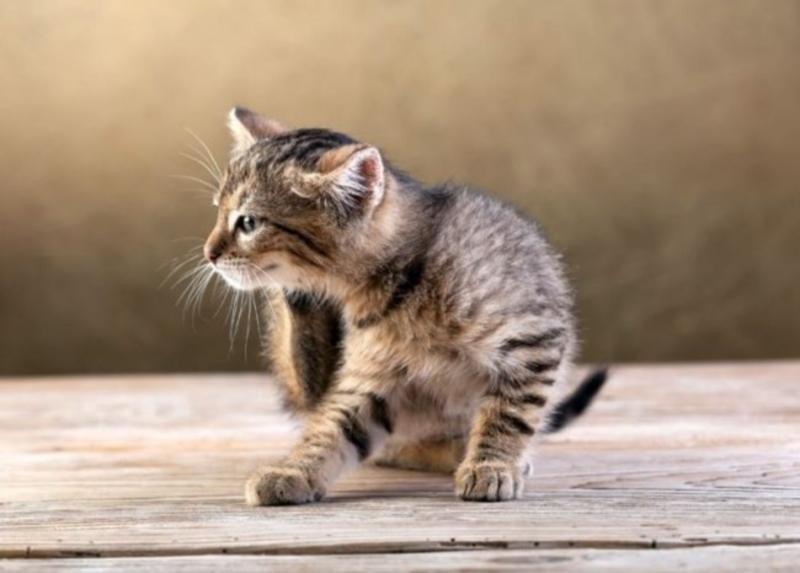Ушные капли от отита для кошек