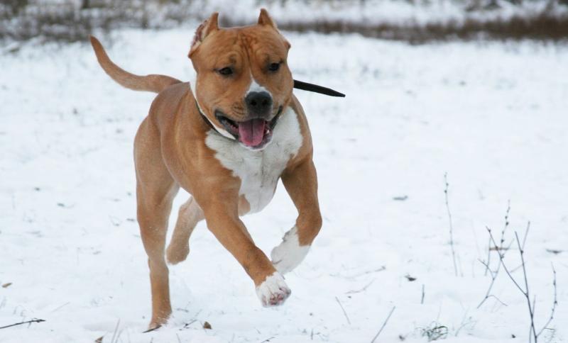 Фото собак терьеров бойцовых