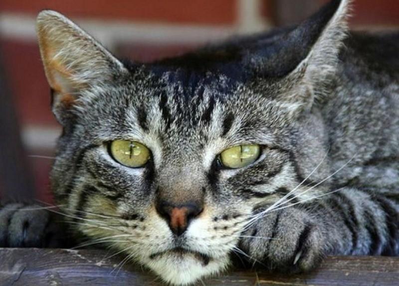 Что означают струвиты в моче у кота Кристаллы-струвиты в моче у кота