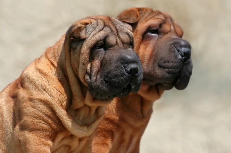 Шарпей порода собак. Описание, особенности, уход и цена шарпея