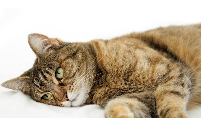 Кошки болезни поджелудочной железы