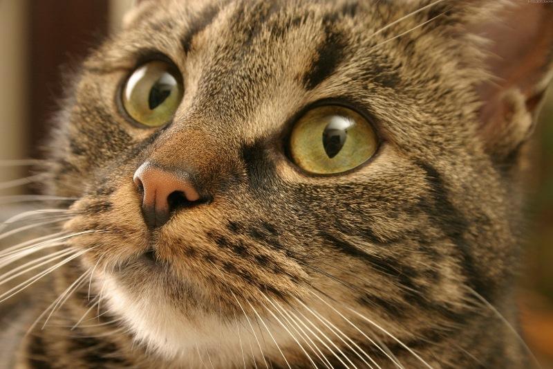 Можно ли кормить кошек собачьим кормом педигри