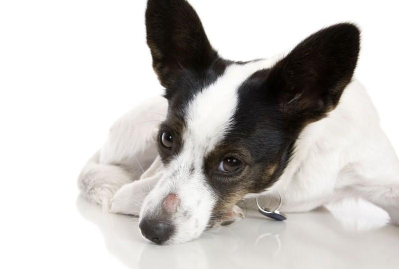 Пиодермия у собак: лечение симптомы фото