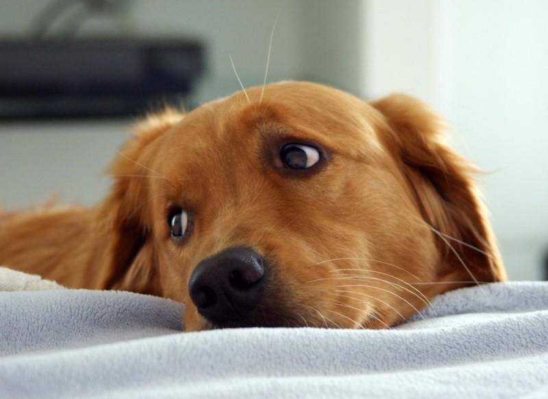 некроз поджелудочной железы у собак