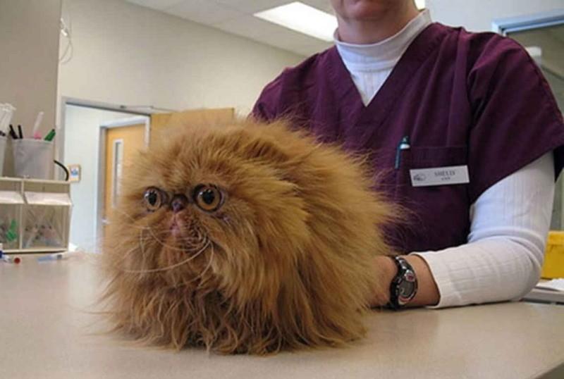 Воспаление заднего прохода у кошки: причины, симптомы и методы лечения