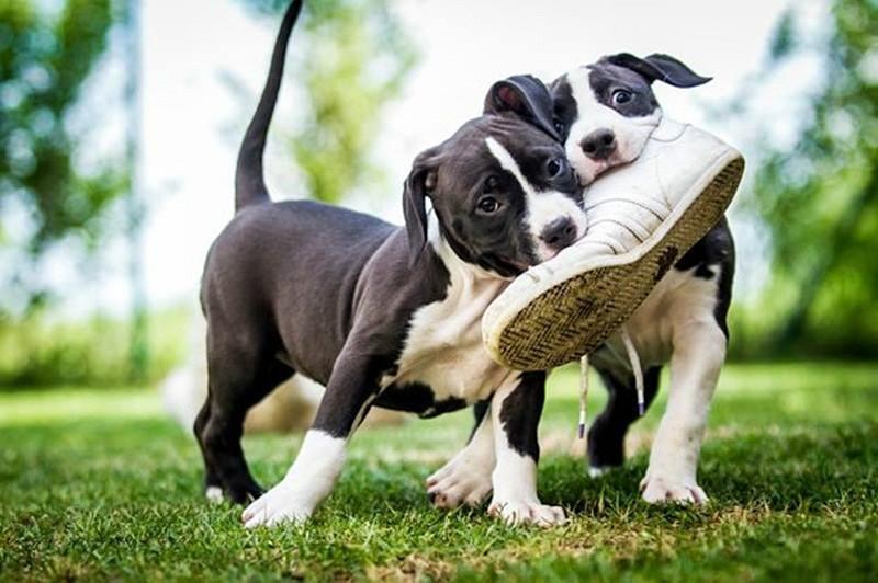 Почему собаки грызут обувь?