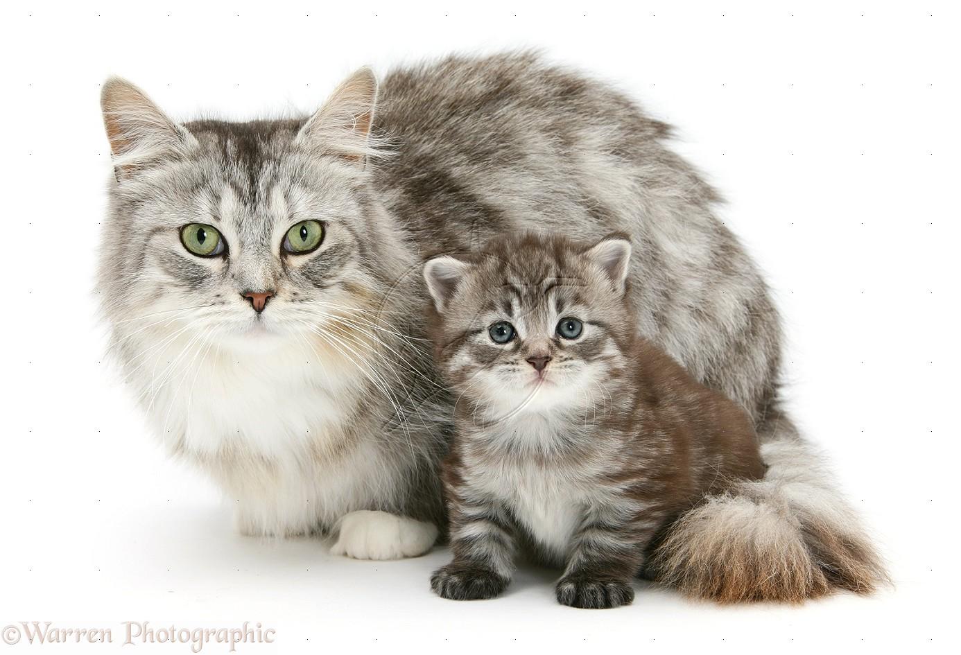 Марта, кошка с котенком картинка для детей