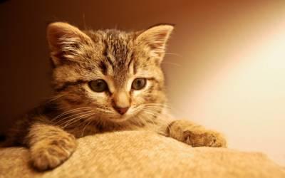 Почему кошки делают массаж лапками