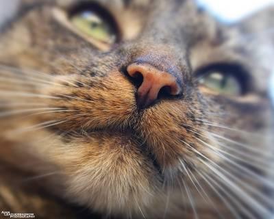 Причины появления корок на носу у котов 🚩 грибок на носике у деток 🚩 Лечение