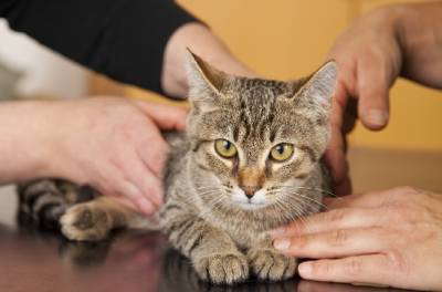 Односторонний крипторхизм у котов Ложный крипторхизм у котов