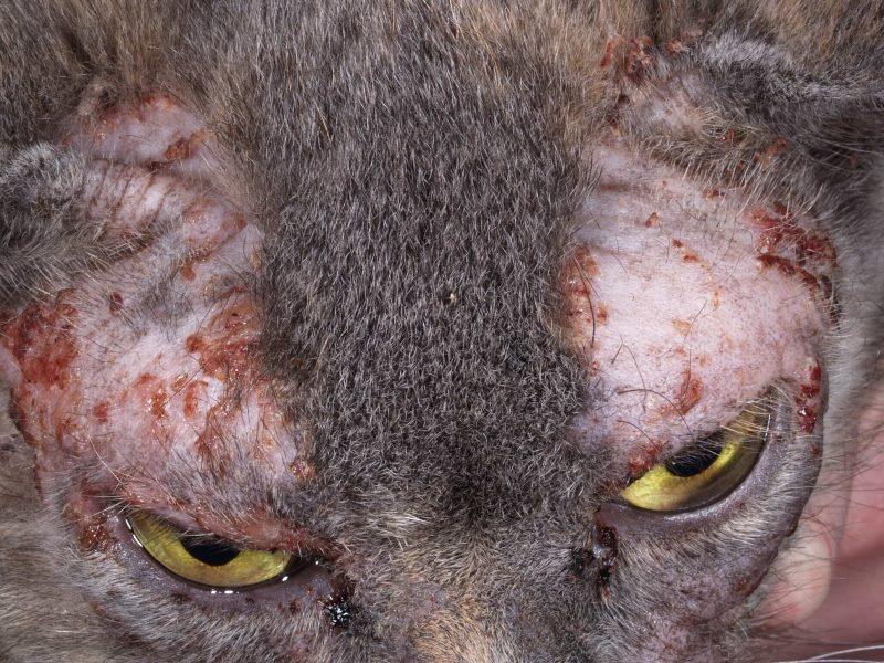 Кошка чешется до болячек и выпадает шерсть, но блох нет, чем лечить зуд у кота