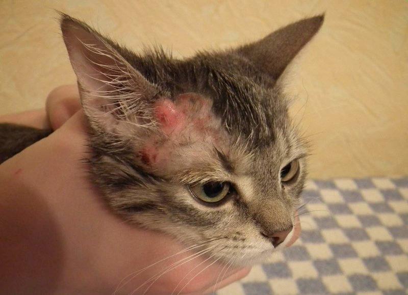 У кошки болячки на шее и голове что делать как ухаживать