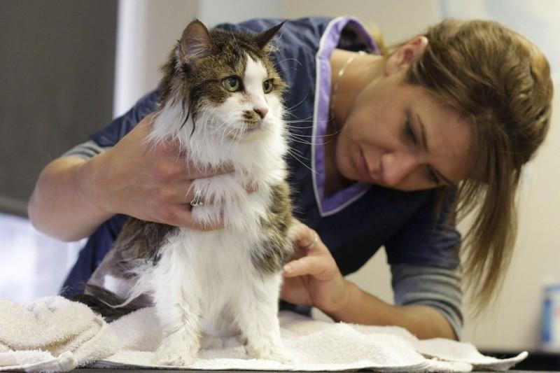 Что делать если у кота перхоть: себорея у кошек фото
