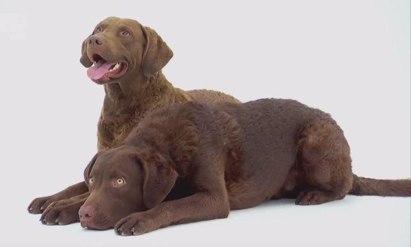 Чесапик бей ретривер: описание породы, цена щенков