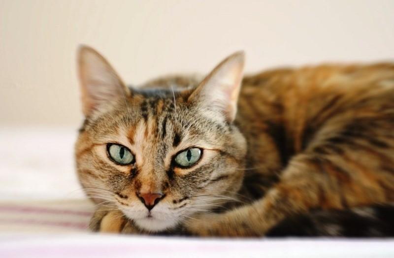 У кошки появились коросты на шее