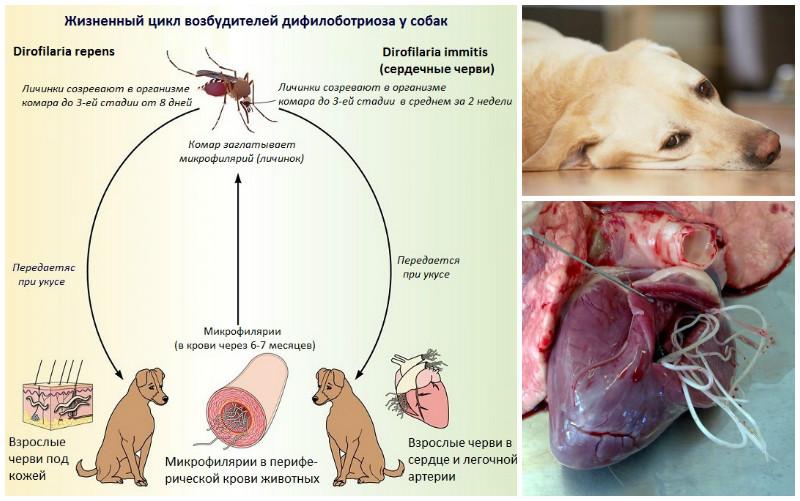 Сердечные глисты у собак симптомы