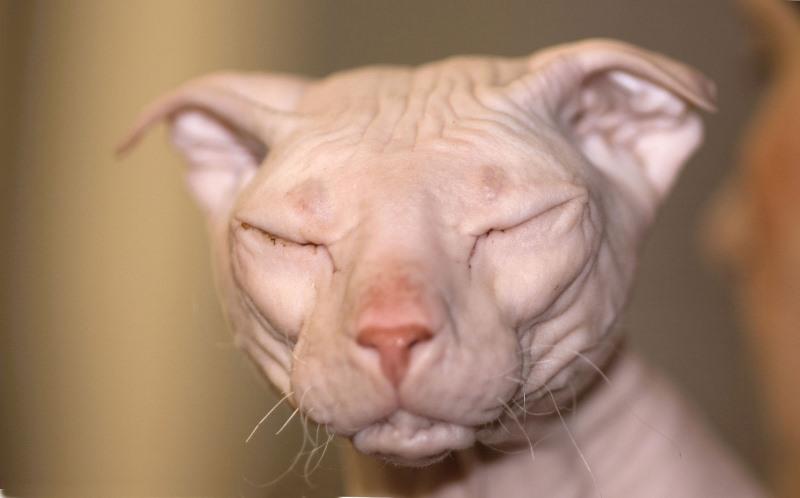 Ухо у кошки покраснело