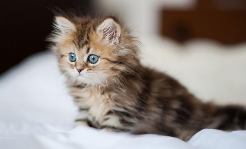 Можно ли давать кошкам смекту при поносе