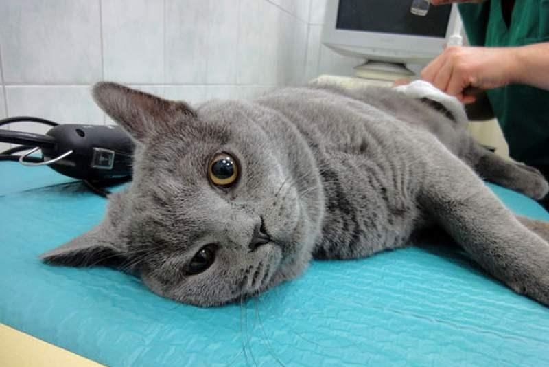 Сколько живут британские коты в домашних условиях кастрированные