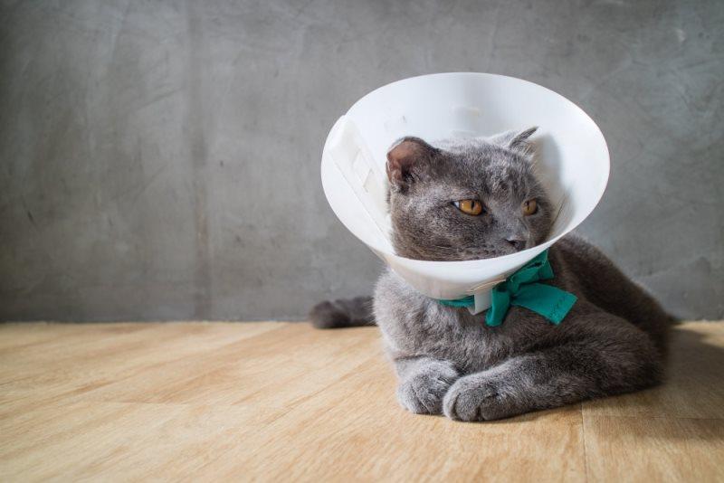 Поведение кота в первые дни после кастрации