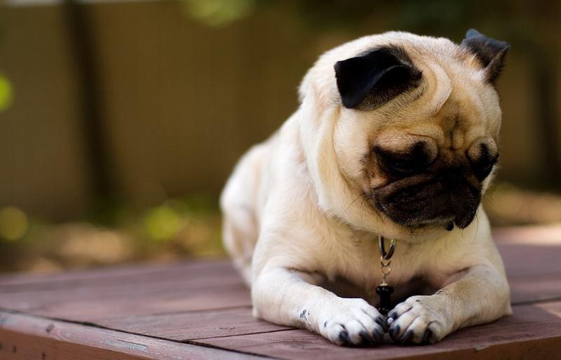 Собака без языка