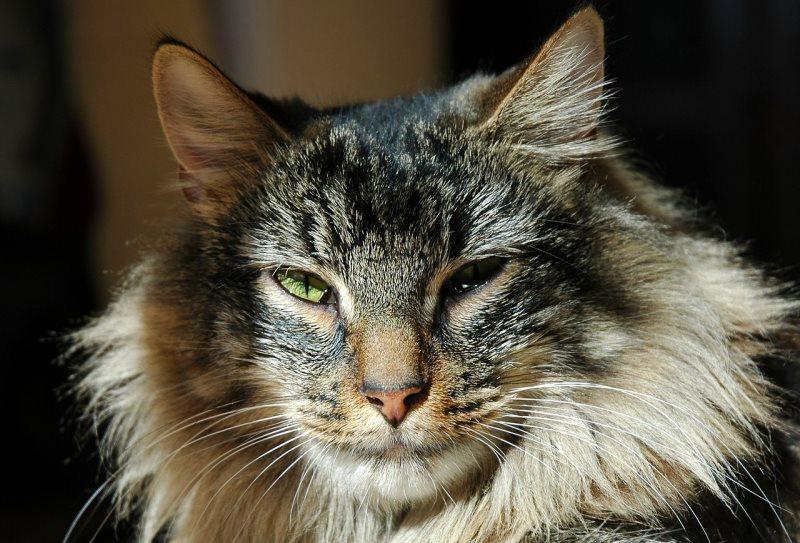 Может ли кастрированный кот хотеть кошку: почему после операции питомец хочет спариваться, врачебные ошибки