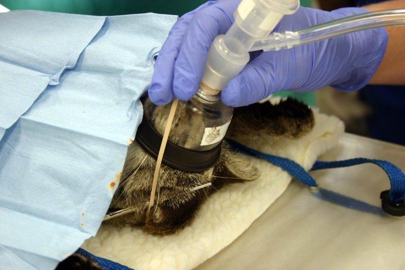 Как стерилизуют кошек - подробно об операции