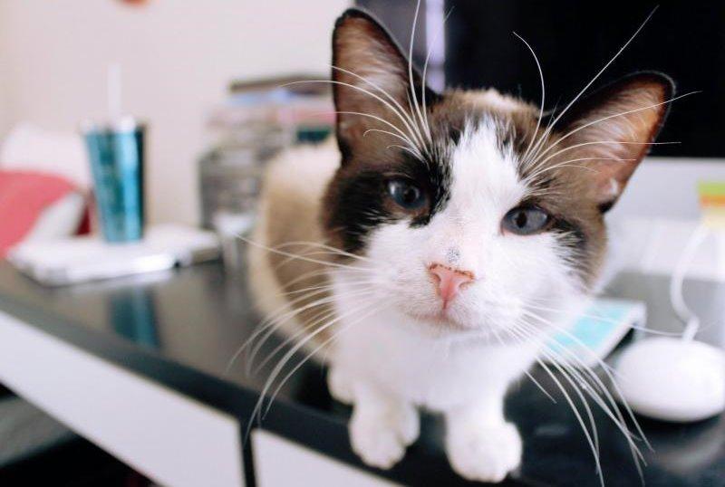 Ранняя кастрация котов: плюсы, минусы
