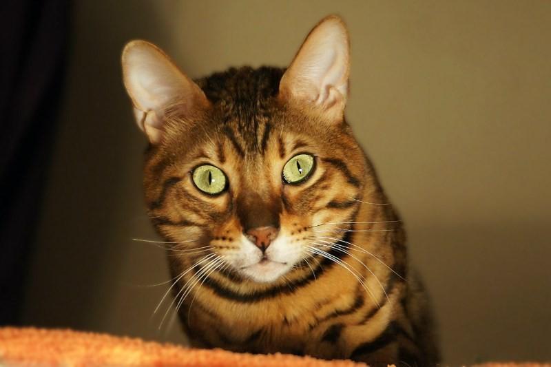 В каком возрасте лучше кастрировать кота шотландца и стерилизовать кошку
